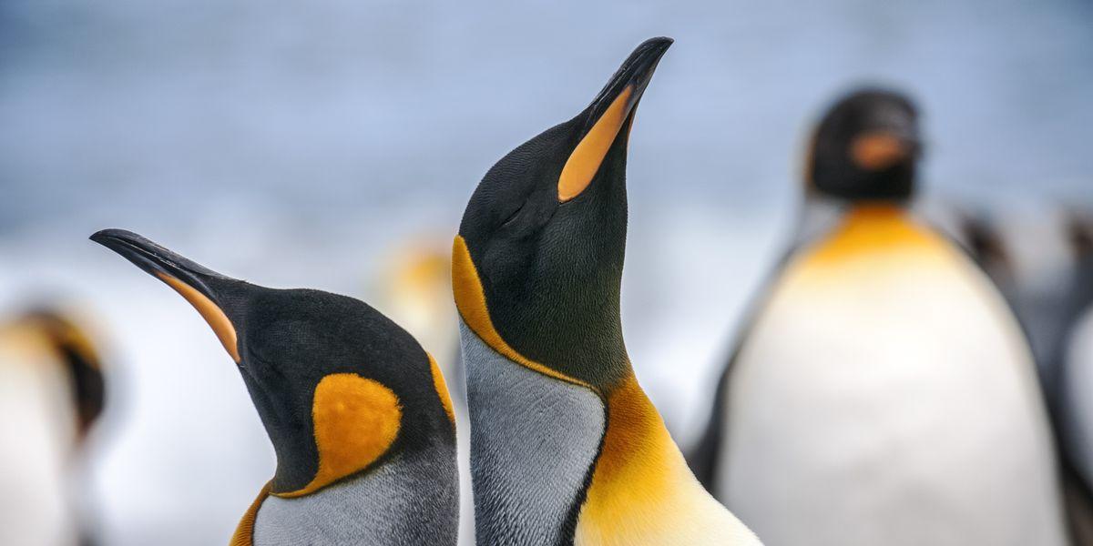 Antarctica Penguins Close Up