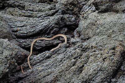 Galapagos Racer Snake