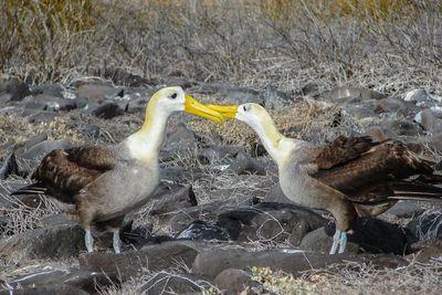 Galapagos Waved Albatross