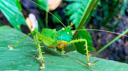 Sinchi Warmi grasshopper