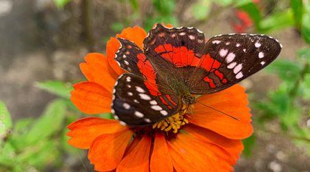 Sinchi Warmi butterfly