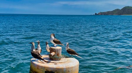 Bluefoot boobys near Salango Island