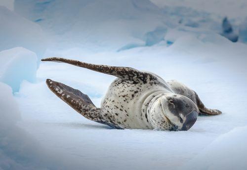 Quark Expeditions - Leopard Seal