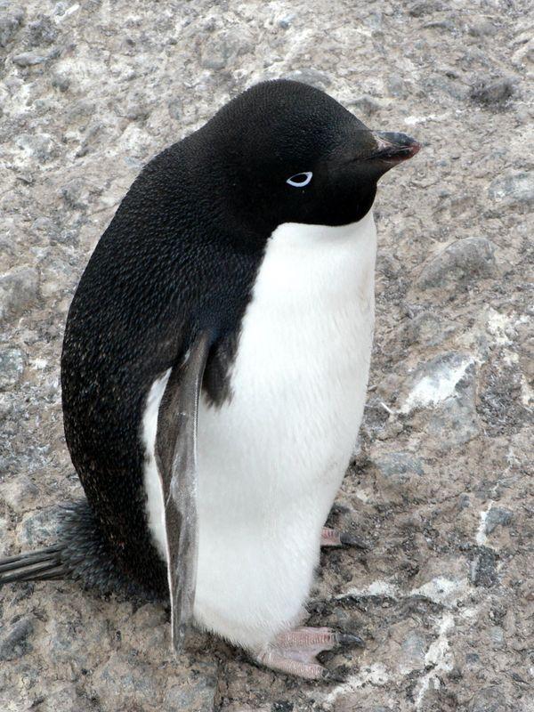 Adelié penguin