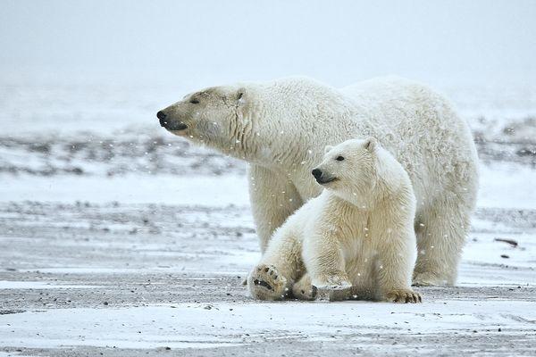 Polar BearPolar Bear