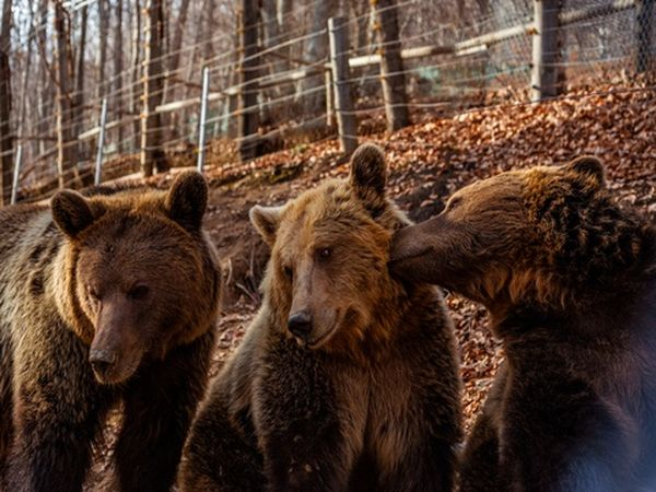 Arcturos Bears Zagori xnts Nature Brown Sanctuary