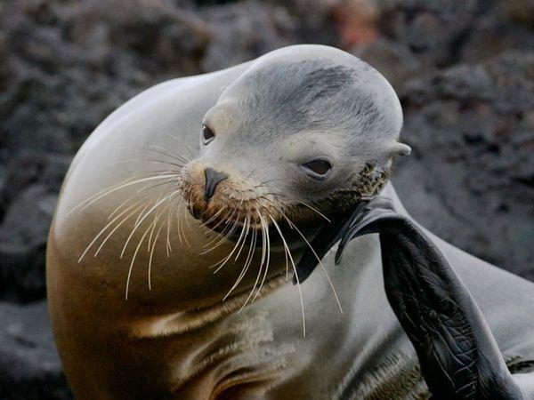 Sea lion GPS