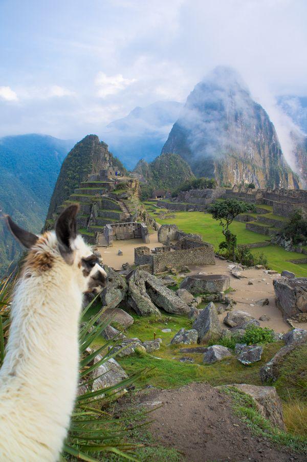 Machu Picchu Lama view