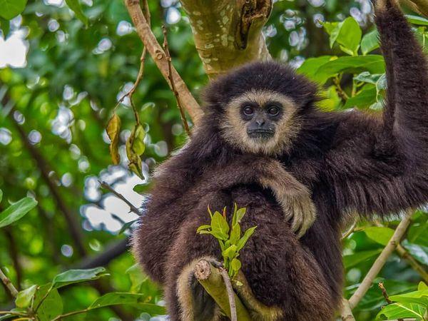 Khao Sok National Park Wildlife Animal Gibbon