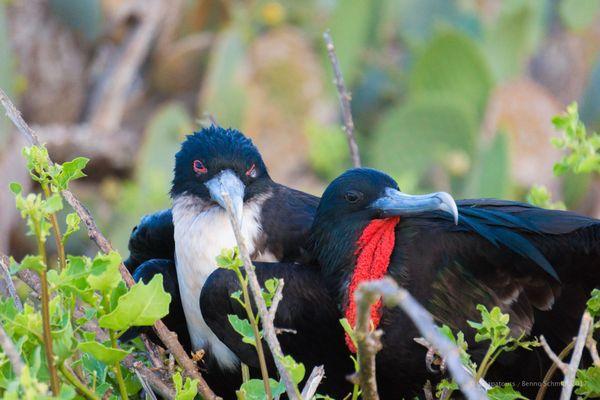 Galapagos Frigatebirds