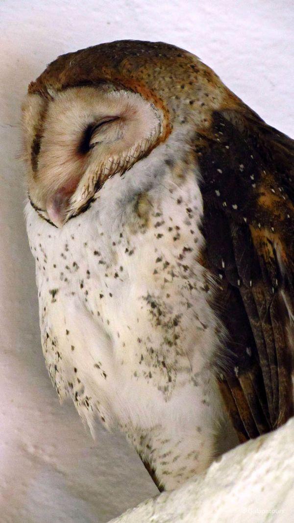 Galapagos Barn Owl