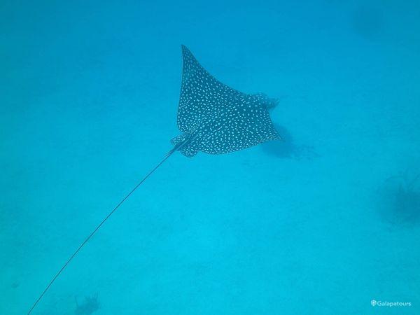 Galapagos Sting Rays