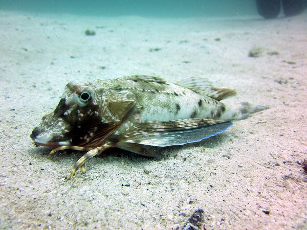 Galapagos Sea Robin