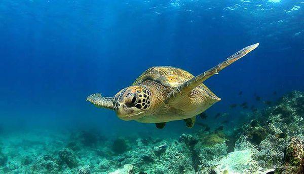 Galapagos Green Turtle
