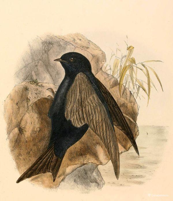 Galapagos Martin