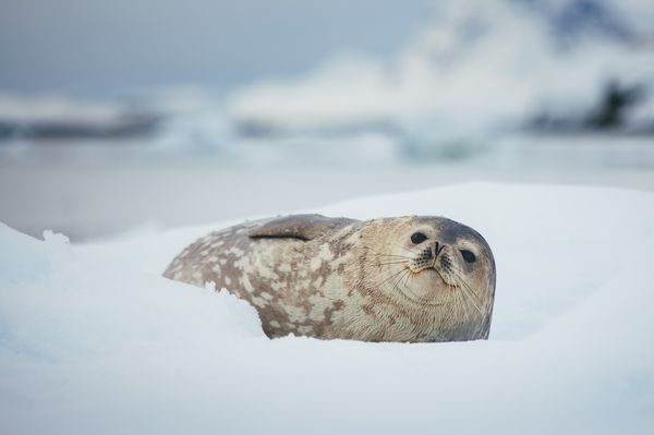Quark Expeditions - Weddell Seal