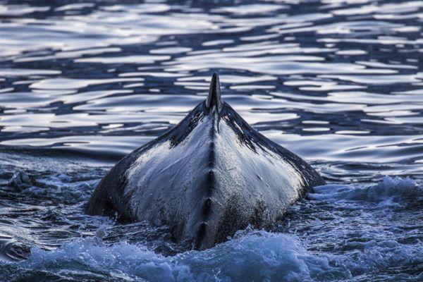 Albatros Expeditions Falkland Islands, South Georgia, Antarctica