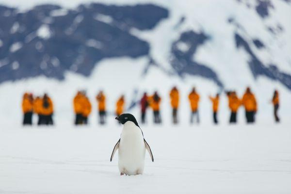 Quark Expeditions - Adelie Penguin